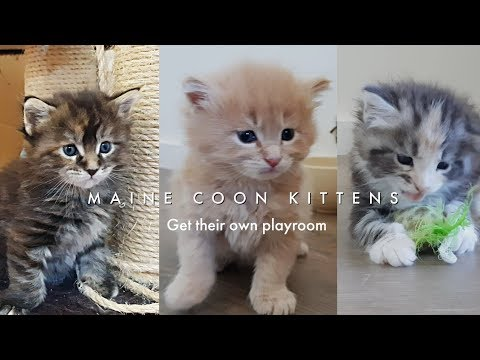 Five week old Maine Coon kittens leave their safe box and get their own big playroom