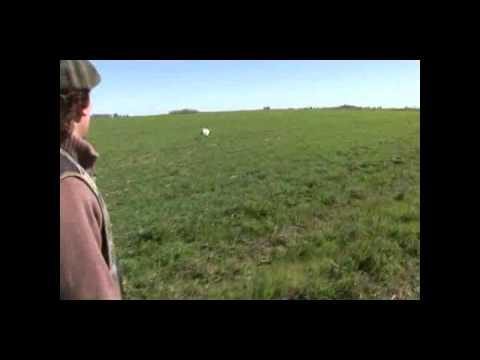 """Perdiz Hunting -Los Gauchos - """"South"""" American Gun Dog - Uruguay Upland Hunting"""