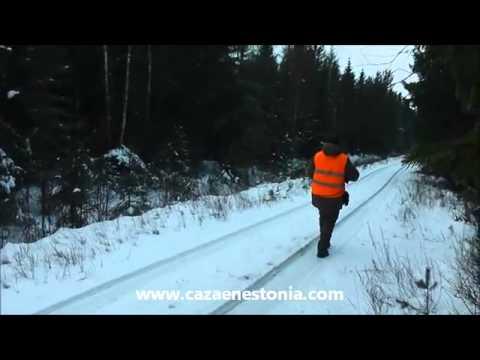 Wild Boar Hunting With Dogs In Estonia