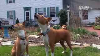 Dogs 101  Basenji