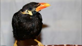 Hill Mynah Bird for Sale - Alot.com - photo#46