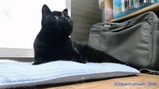 可愛い首振りクロちゃん 超 可愛い猫動画