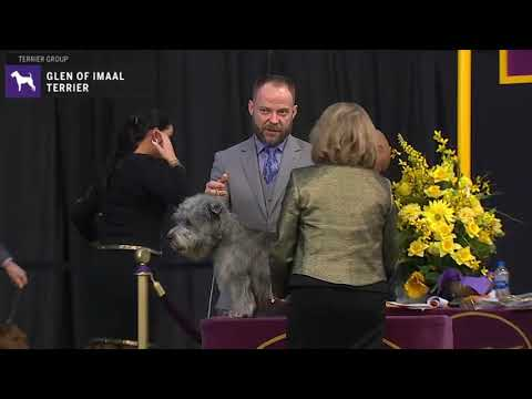 Glen of Imaal Terriers Breed Judging 2020
