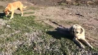 Голодные собаки Азербайджана