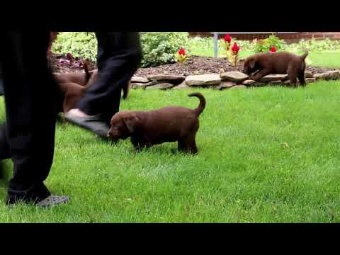 Chocolate Labrador Retriever Puppies For Sale Daniel Zook