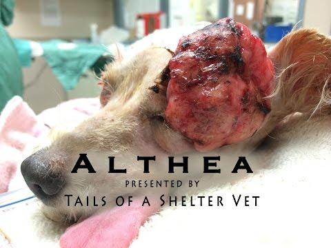 Althea's Makeover - Shelter Vet Removes Large Mass, Dog's Vision Saved