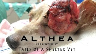 Althea's Makeover - Shelter Vet Removes Large Mass, Dog's Vision Saved