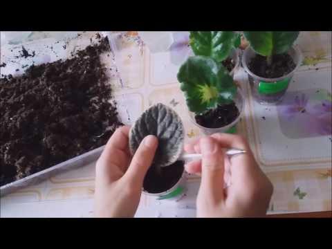 Как посадить фиалку в горшок с корнем