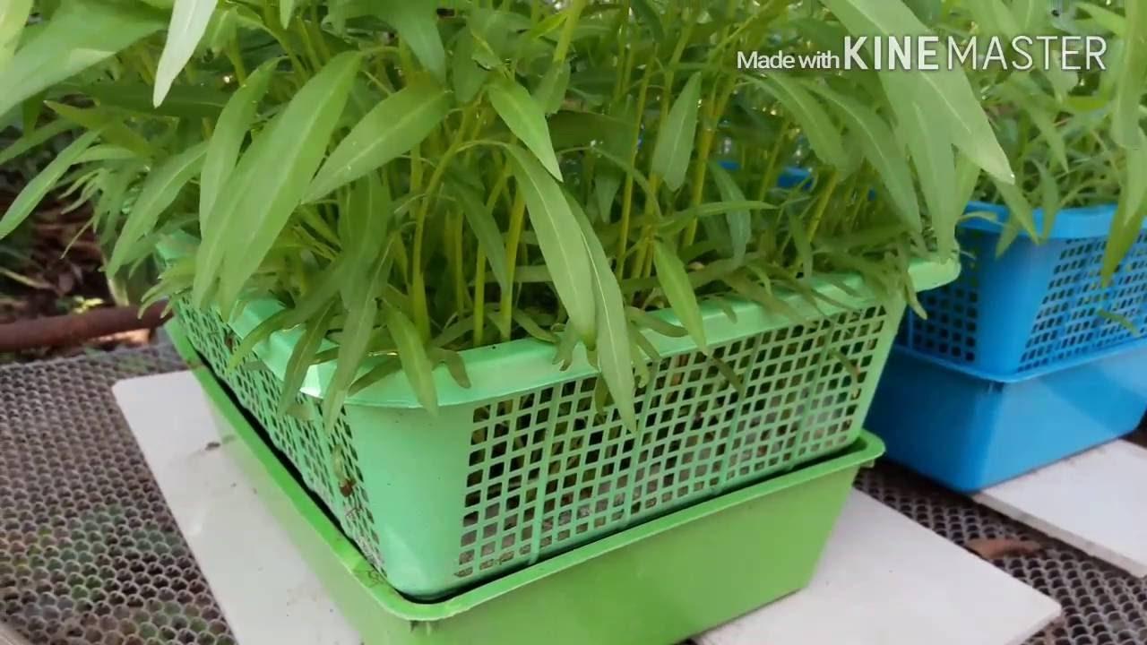 ปลูกผักบุ้งในตะกร้า ไฮโดรโปนิกส์ 3/3 (สรุปการปลูกผักบุ้งแบบใช้ปุ๋ยน้ำและน้ำเปล่า) hydroponic