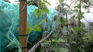 Allotment Gardening 2013 - Mid Summer on the plot