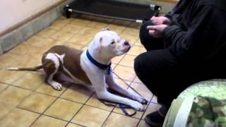 Balance Your Bully Dog Training ~ Blue Break Through