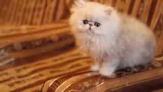 Персидская шиншилла, кот. Kelevra BRUNO