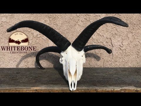 "HOW TO CLEAN A FOUR HORN RAM SKULL ""JACOBS SHEEP"""