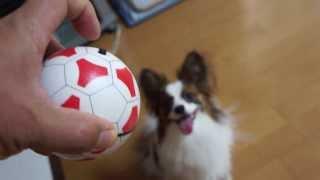パピヨンのもぐちゃんが遊びにきたので、自動で動くボールを与えたらこ...
