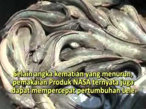 TIPS BUDIDAYA IKAN LELE - MAGELANG / RESEP MUDAH MENINGKATKAN MUTU & HASIL PANEN