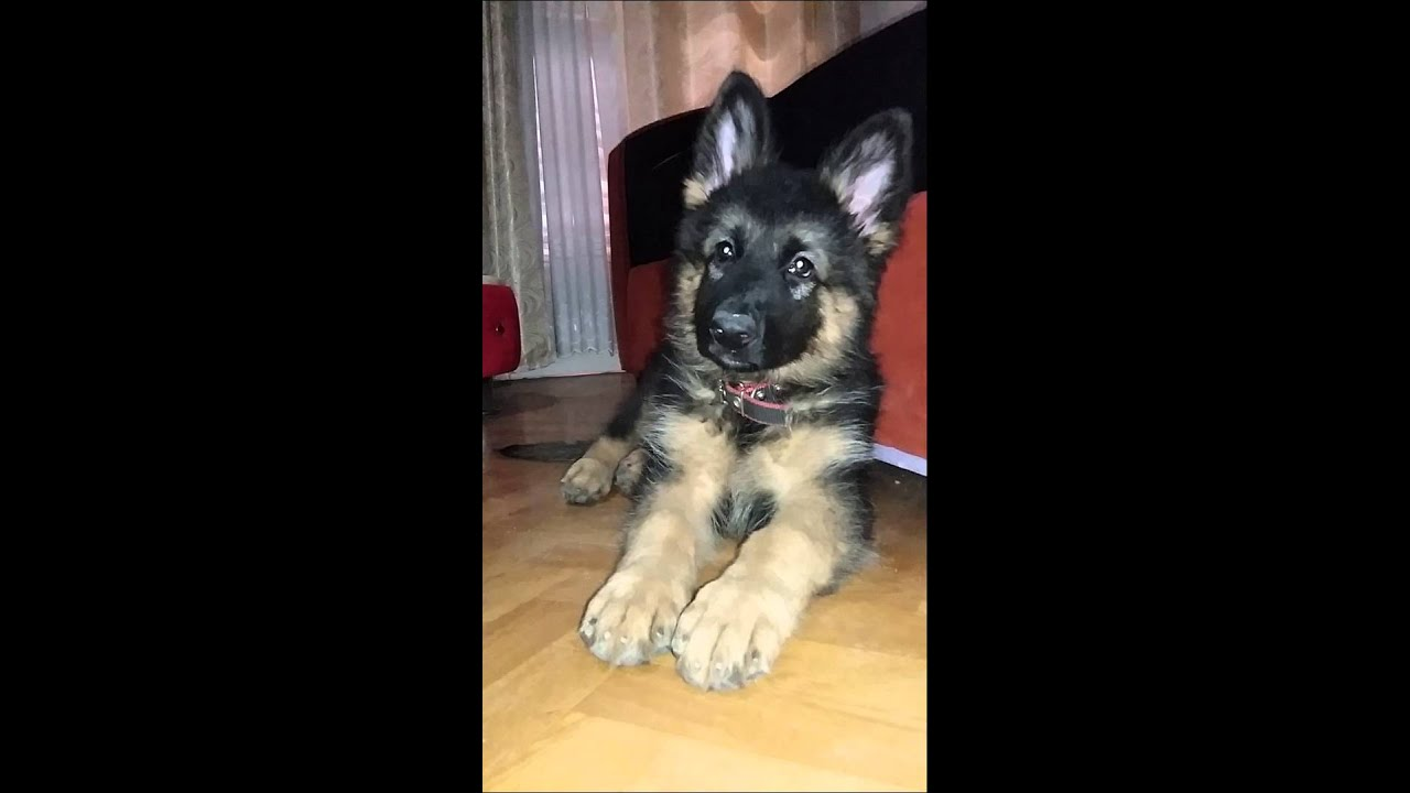 Le plus beau berger allemand au monde youtube - Le plus beau homme au monde ...