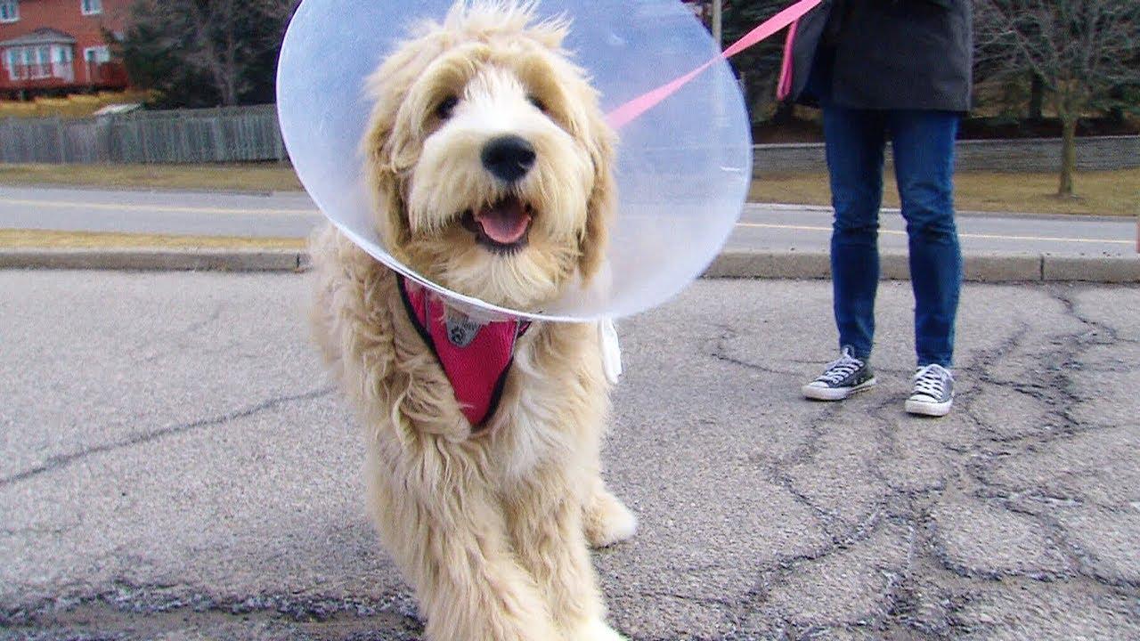 Dog surrendered over $8K vet bill returned to owners