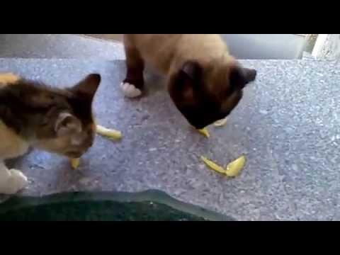 Gatos Pretarouca
