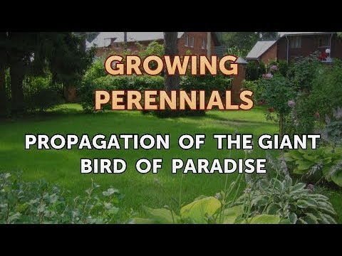 propagation-of-the-giant-bird-of-paradise