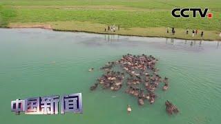 [中国新闻] 四川南充:上演百牛渡江吃草奇观 | CCTV中文国际