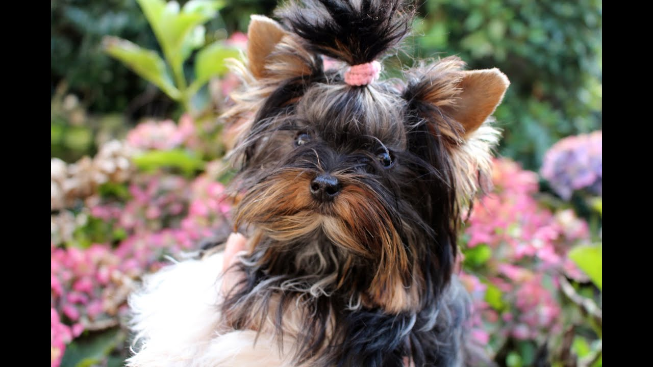 yorkie terrier mini mini biewer yorkshire terrier quot trude quot 4 youtube 5972