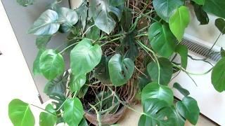 МОНСТЕРА. Почему листья перестали быть резными?...
