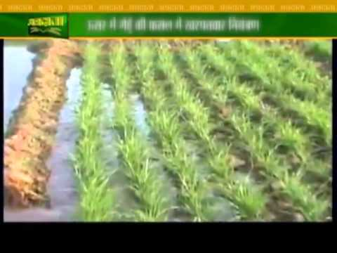Expert advice on wheat cultivation