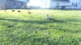 British Labrador Retriever Puppies - Uk Import Working Lines