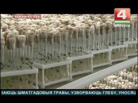 Семенной картофель в Дашковке