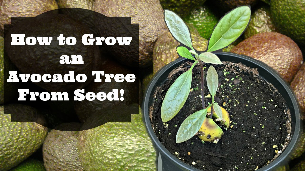 how to grow avocado from seed - Grow An Avocado