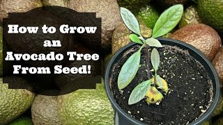 How to Grow Avocado from Seed!