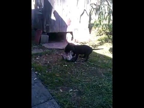 Dog(Pitbull) VS Cat