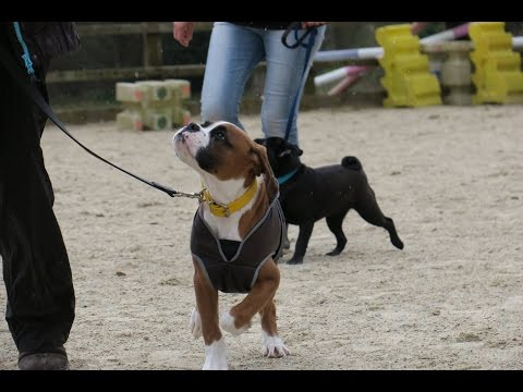 Wellington – Boxer Puppy – 4 Week Residential Dog Training At Adolescent Dogs