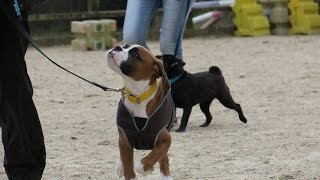 Wellington - Boxer Puppy - 4 Week Residential Dog Training At Adolescent Dogs