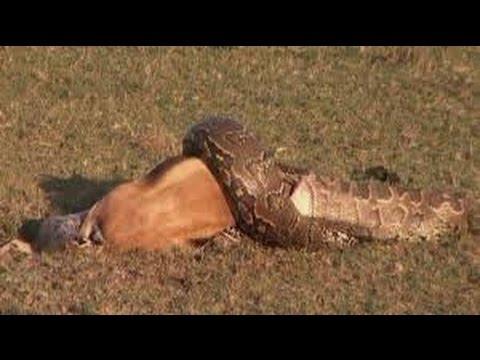 Hybrid Giant Pythons found