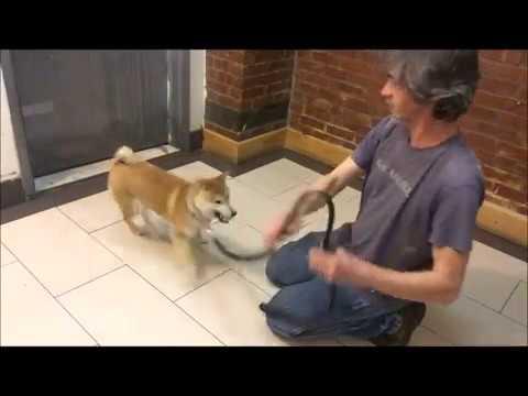 "Shiba Inu Learns New ""Tricks"""