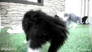 Epic Kitten Battle Dahlia V. Clary Sage   TinyKittens.com