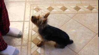 Yorkshire Terrier, Puppy Dog Training,yorkshire Terrier, Chanel Bridget