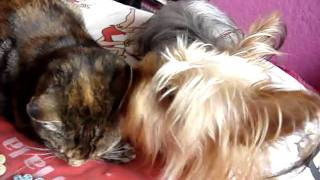 Dog Licking Cats Ears Mini Yorkshire Terrier Tabby Torteshell Cat Dog Funny Cute Video