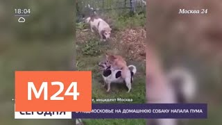 В Подмосковье на домашнюю собаку напала пума - Москва 24