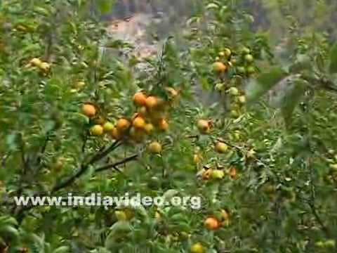 Apples at Gangotri