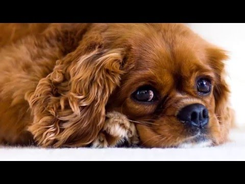 beautiful pictures of dog breed Cavalier King Charles Spaniel