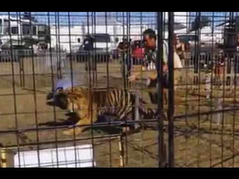 Shay Diddy - Shocking Moment Circus Tiger Escapes Cage During Performance.