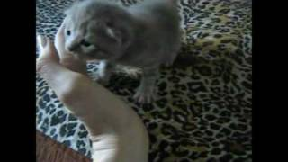 Британские котята с 1 дня по 2 недели.avi