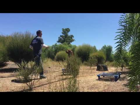 Dog Training San Diego | Clifford - Irish Setter