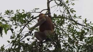 Jumping Proboscis Monkey - River Kinabatangan - Bornéo