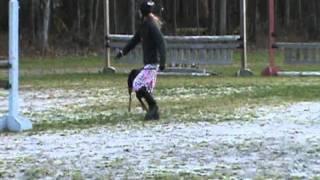 Doberman Pinscher Jumps Horse Jumps