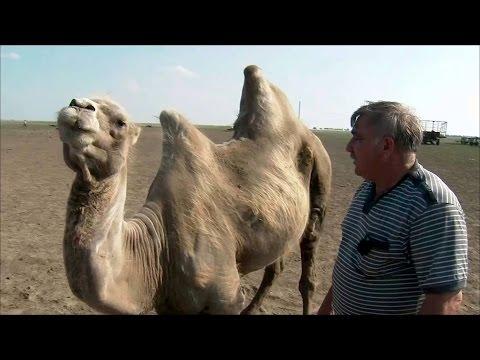 Вопрос: Какой вес может перевозить на себе верблюд?
