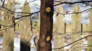Brown Creeper Eating At Suet Log