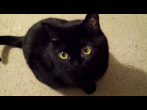 Annoying Bombay Cat Rachel